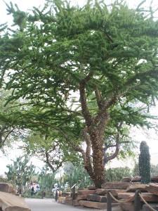 Acacia schaffneri