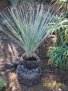 Dasylirion wheeleri (Desert Spoon)