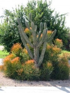 Cactus, Firesticks, & Citrus