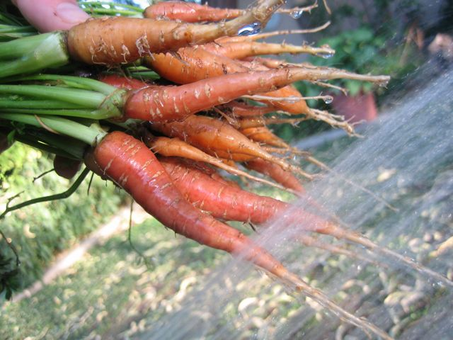last crop of carrots of the summer