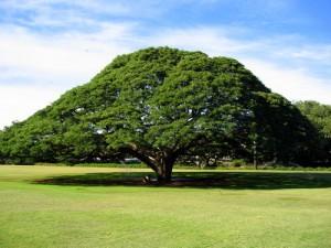 Samanea saman (Rain Tree)