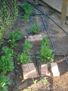 Drip Irrigation on a Veggie Garden