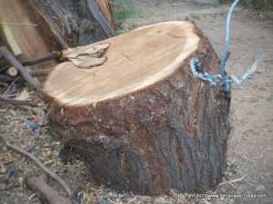 Bad Staking Practices Can Wound Trees