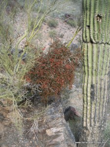 Mistletoe Infestation in the Phoenix Mountain Preserve