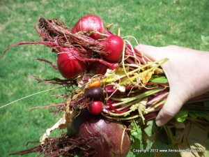 Colorful Beets from the Garden