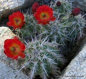 Arizona Hedgehog Cactus (Echinocereus arizonicus ss. arizonicus)