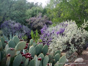 Xeriscape Plants at Boyce Thompson Arboretum